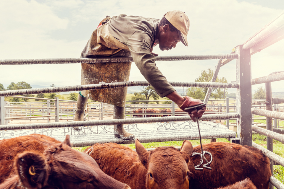 Igor Emmerich, South Africa, farm, live stock, African, black, man, cows, auction, dranding