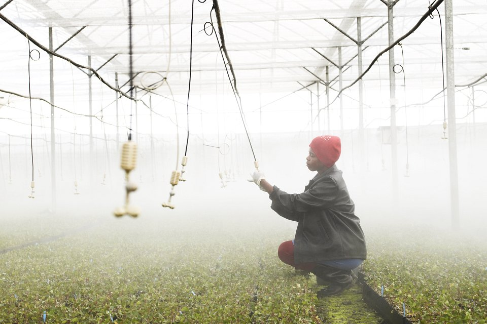 Igor Emmerich, Mondi Worker in Greenhouse, hands, plants